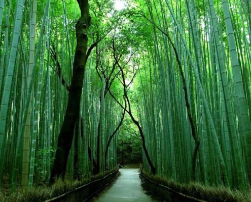 Corte di villavara applicazioni industriali delle piante for Bamboo coltivazione
