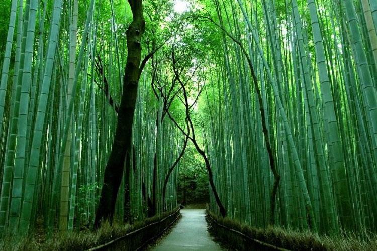 corte di villavara cura e crescita piante del bambu